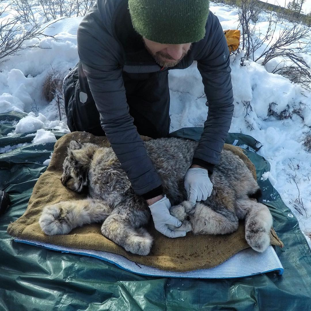 Tillak - Conservation Takes a Hit in Light of the Shutdown - The Lynx Project